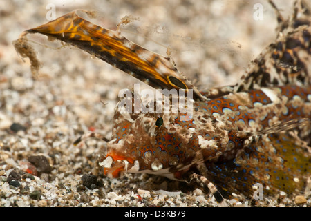 Fingered dragonet head detail (Dactylopus dactylopus), Lembeh Strait, North Sulawesi, Indonesia. - Stock Photo