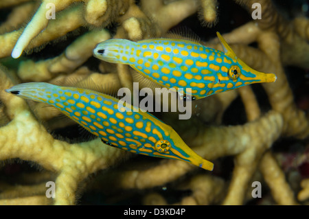 Pair of comet fish, Australia. - Stock Photo