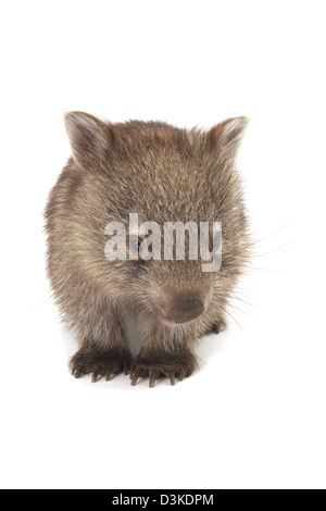 Common or bare nosed wombat, photographed in a studio - Stock Photo