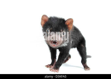 Tasmanian devil juvenile - Stock Photo