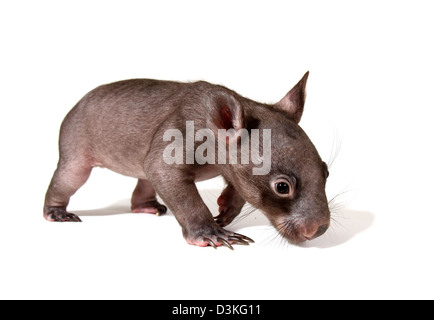 common wombat vombatus ursinus juvenile photographed in a studio with white background ready for cut-out - Stock Photo