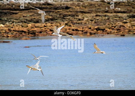 A flock of Swift Tern or Greater Crested Tern (Thalasseus bergii), at the beachfront at Kommetjie near Cape Town. - Stock Photo