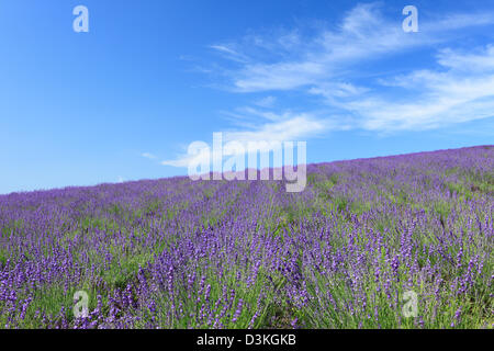 Lavender field and blue sky with clouds - Stock Photo