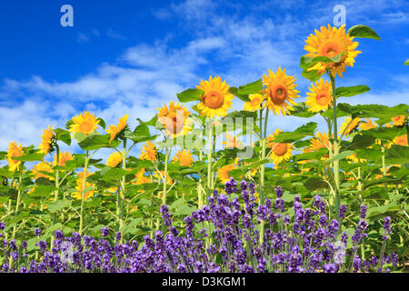 Sunflowers lavender and blue sky with clouds - Stock Photo