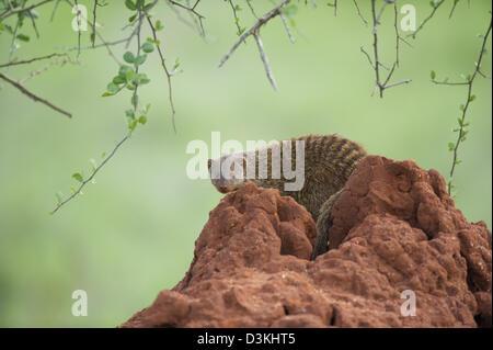 Banded mongoose (Mungos mungo) sitting on a termite mound, Taita Hills Wildlife Sanctuary, Kenya - Stock Photo
