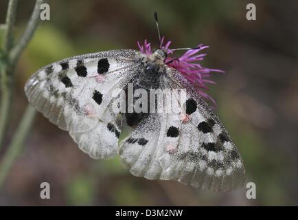 Apollo or Mountain Apollo (Parnassius apollo), is a butterfly of the Papilionidae family. - Stock Photo