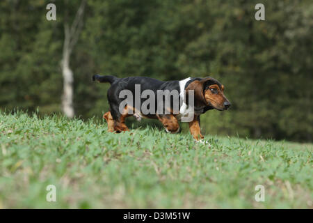 Dog Basset Hound  adult running in a meadow - Stock Photo