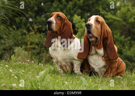 Dog Basset Hound  two adults sitting in a meadow - Stock Photo