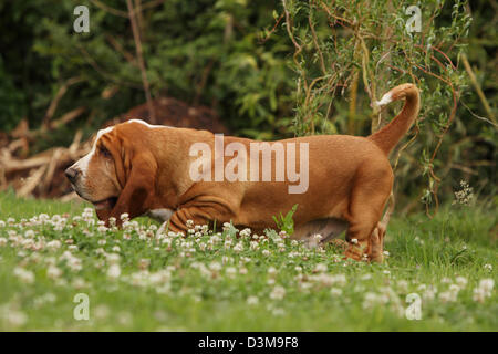 Dog Basset Hound  adult walking in a meadow - Stock Photo