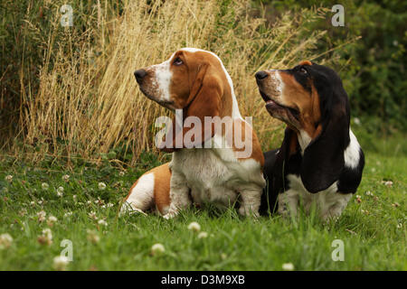 Dog Basset Hound  two adults different colors sitting in a meadow - Stock Photo