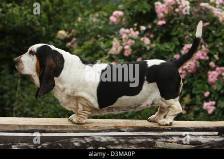 Dog Basset Hound  adult standing on a wood - Stock Photo