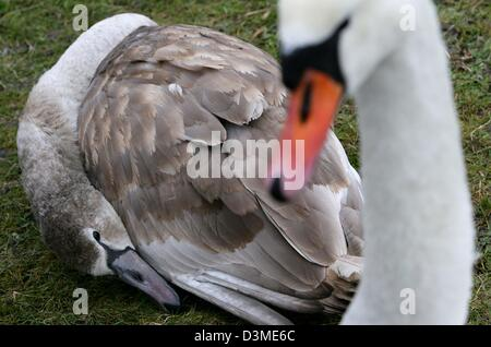A parent swan stands besides its dying offspring near the city of Trent on the island of Ruegen, Germany, Wednesday - Stock Photo