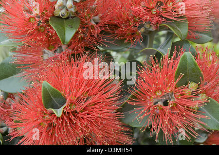 Impressive red-orange flowers of the shrub Metrosideros kermadecensis, a variety of the Pohutukawa - Stock Photo