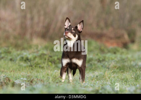 Dog Working Kelpie  young standing in a meadow - Stock Photo