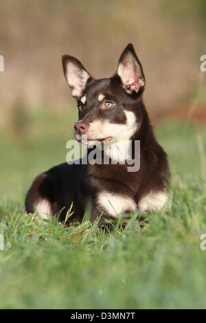 Dog Working Kelpie  young lying in a meadow - Stock Photo