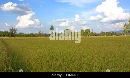 Yellow rice harvest season, farmers in Chiang Mai, Thailand. - Stock Photo