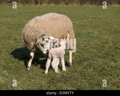 new born lamb suckling from mother - Stock Photo
