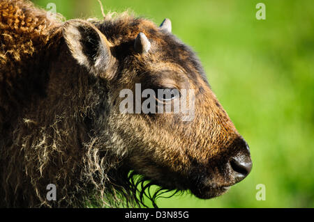 Closeup portrait of the head of a young Bison Calf, taken in Yellowstone National Park,Wyoming. - Stock Photo