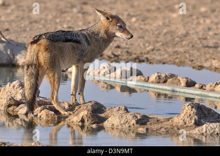Black-backed jackal (Canis mesomelas), standing at a waterhole, alert, Kgalagadi Transfrontier Park, Northern Cape, - Stock Photo
