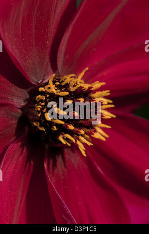 Close-up portrait image of a single red and yellow Dahlia flower in full bloom. - Stock Photo