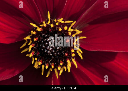 Close-up image of a single red and yellow Dahlia flower in full bloom. - Stock Photo