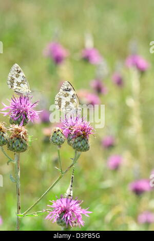 Marbled White butterflies in the nature - Stock Photo