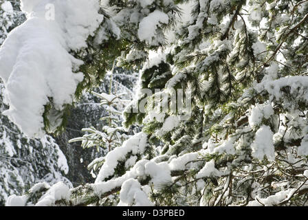 Heavy snow hangs on the branches of pine trees in this conifer woodland in Aberdeenshire - Stock Photo