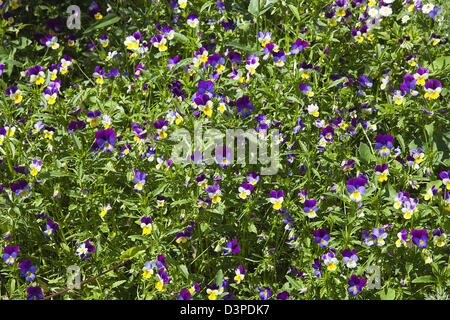 Pansy Viola wittrockiana growing wild in garden. - Stock Photo