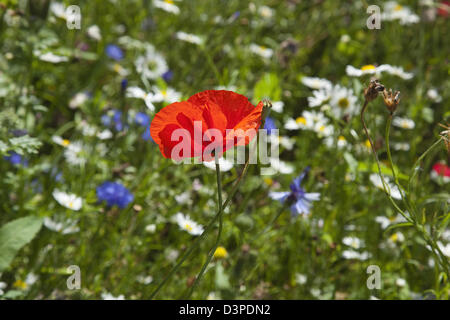 Meadow of mixed wild flowers with Cornflower, Daisies and Poppies. - Stock Photo