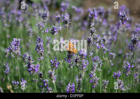 Comma butterfly resting or feeding on English lavender flowers - Stock Photo