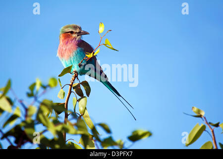 Lilac-breasted Roller (Coracias caudatus) perched in tree, Etosha National Park, Namibia, South Africa - Stock Photo