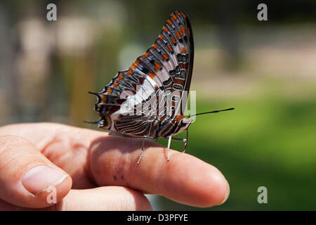 Two-tailed Pasha / Foxy Emperor (Charaxes jasius) on finger, Etosha National Park, Nambia, South Africa - Stock Photo