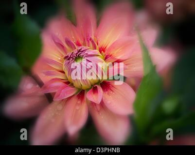 Dahlia (Nicholas) close up. Oregon - Stock Photo