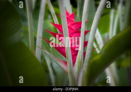 Heliconia flower. The Big island, Hawaii. - Stock Photo