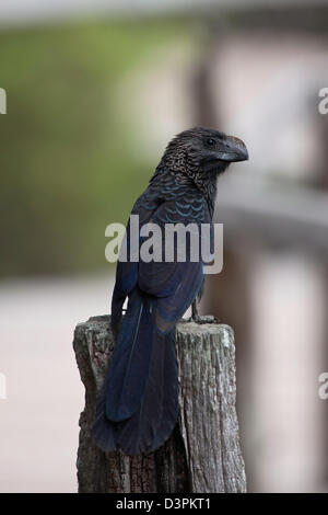 The smooth-billed Ani, Crotophaga ani, was brought to Santa Cruz Island, Galapagos from mainland Ecuador. - Stock Photo