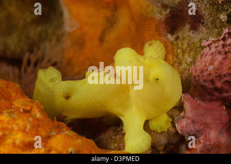 A juvenile Commerson's frogfish, Antennarius commersoni, Maui, Hawaii. - Stock Photo