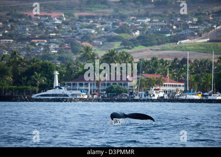A humpback whale, Megaptera novaeangliae, lifts it's tail in front of Lahaina Harbor and the famous Pioneer Inn - Stock Photo