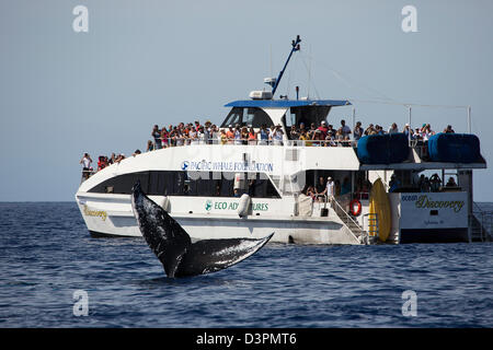 Tourists on a whale watching boat, get a close up look at the tail of a humpback whale, Megaptera novaeangliae, - Stock Photo