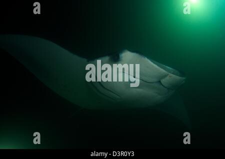 This large Giant Manta Ray (Manta birostris) individual got attracted to the plankton buildup under the lights of - Stock Photo
