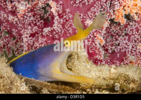 A blue ribbon eel, Rhinomuraena quaesita, Fiji. - Stock Photo