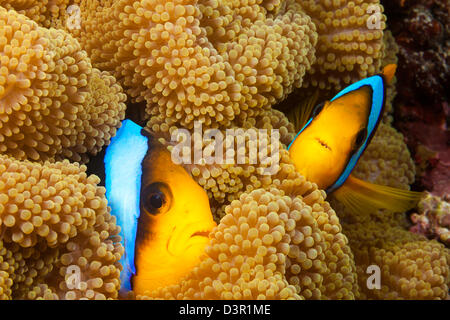 These two orange-fin anemonefish, Amphiprion chrysopterus, are pictured hiding in their host anemone, Fiji. - Stock Photo
