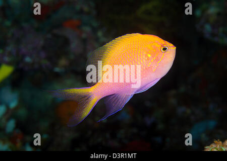 The hawkfish anthias, Serranocirrhitus latus, is a more solitary member of this family, Fiji. - Stock Photo