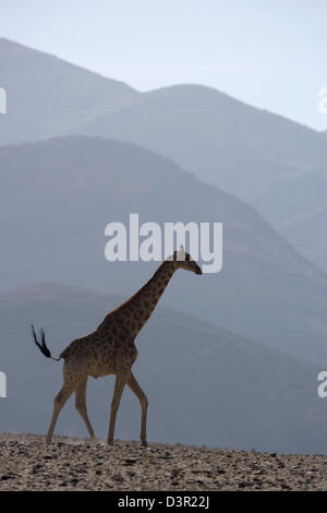 Giraffe in the Skeleton Coast National Park, Namibia near Purrus - Stock Photo
