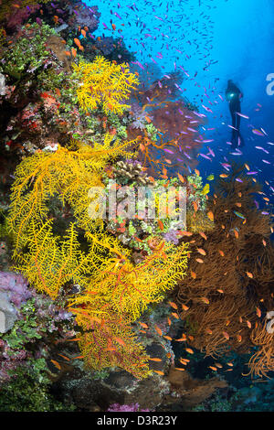 Diver (MR) and a Fijian reef scene with various forms of soft coral and schooling anthias. - Stock Photo