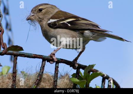 Female Chaffinch collecting coconut fibre from a hanging basket to use as nesting material. - Stock Photo