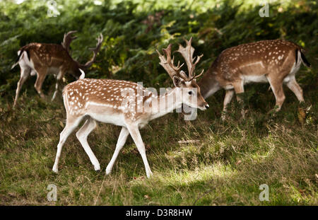 Deer in Richmond Park, London, England, UK - Stock Photo