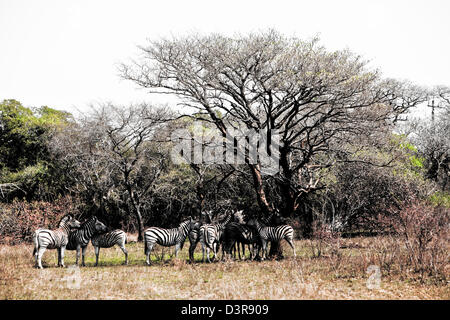 Plains Zebras under a tree in Phinda Game Reserve, South Africa - Stock Photo