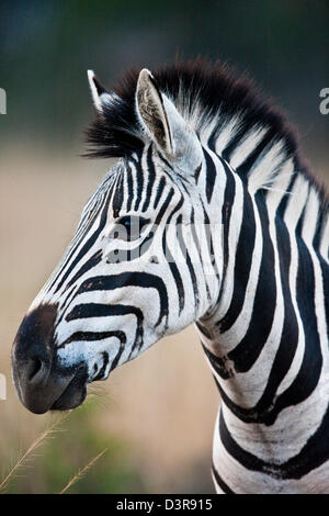 Plains zebra in Phinda Game Reserve, South Africa - Stock Photo