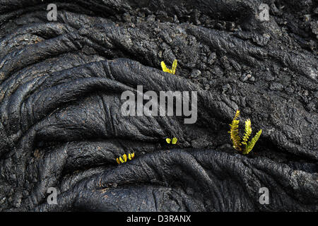 Kupukupu fern growing in Pahoehoe lava cracks Volcanoe National Park Hawaii - Stock Photo