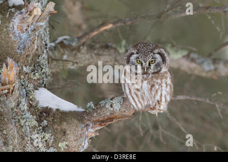 Boreal Owl (Aegolius funereus) - Stock Photo